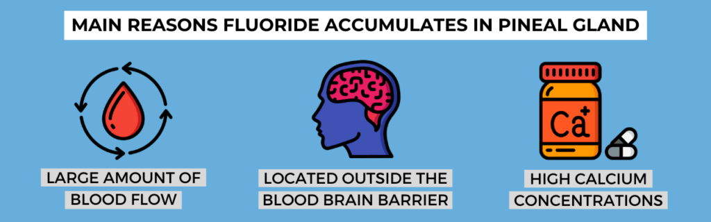 main reasons fluoride accumulates in pineal gland